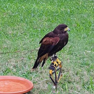 Disgruntled hawk