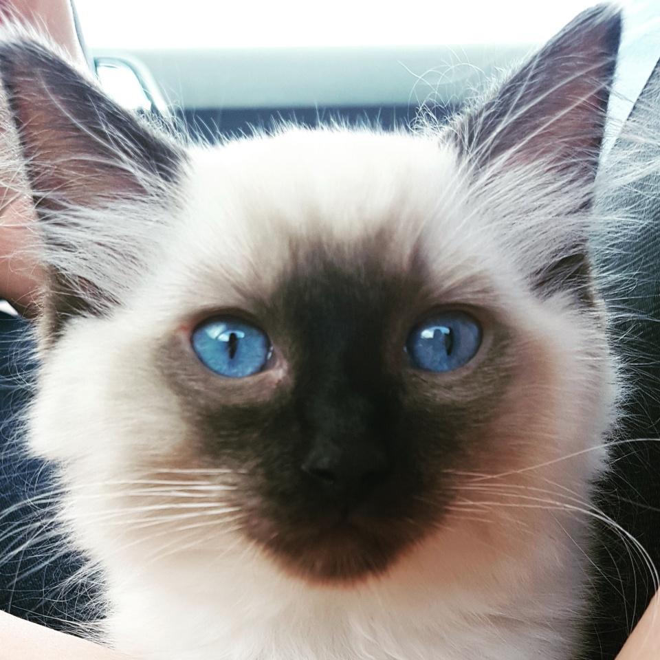 Ragdoll kitten wales